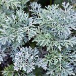 A-124-11 Artemisia absinthium